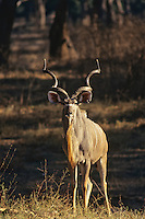Greater kudu (Tragelaphus strepsiceros) bull, Mana Pools National Park, Zimbabwe.