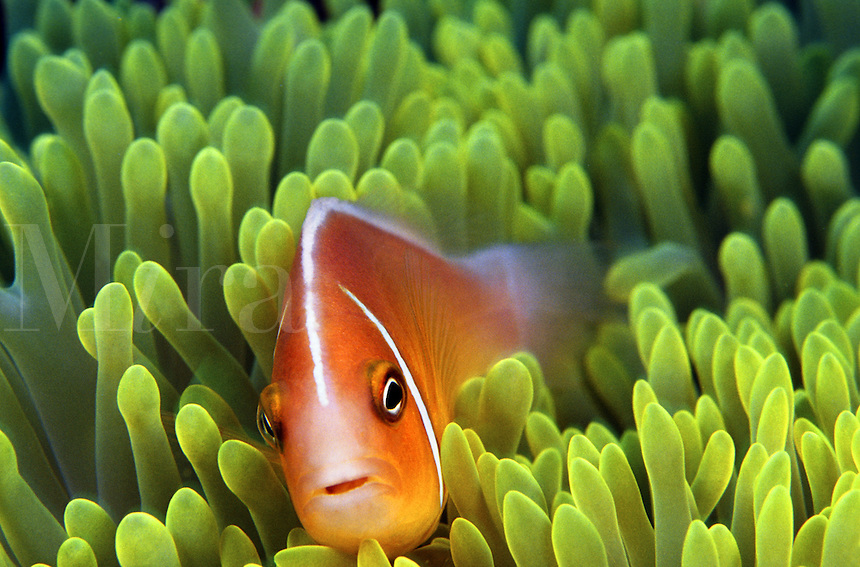 PINK ANEMONEFISH Amphiprion perideraion AND ANEMONE Heteractis magnifica FIJI<br />