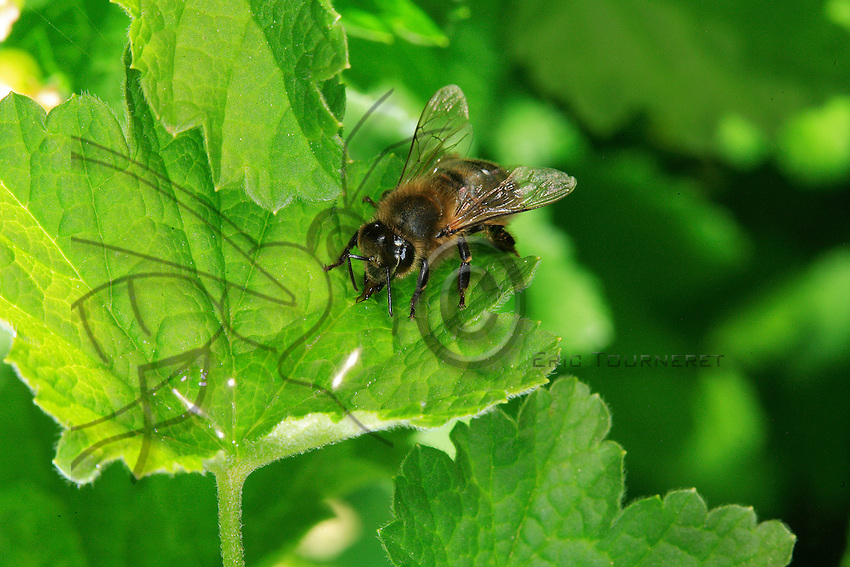A bee siphons water from a droplet on a leaf. Some pollen-gathering bees specialize in water collection, but this is by no means widespread behavior. It is a dangerous activity for bees, and it is common to see dead bees that have fallen into the water and drowned.