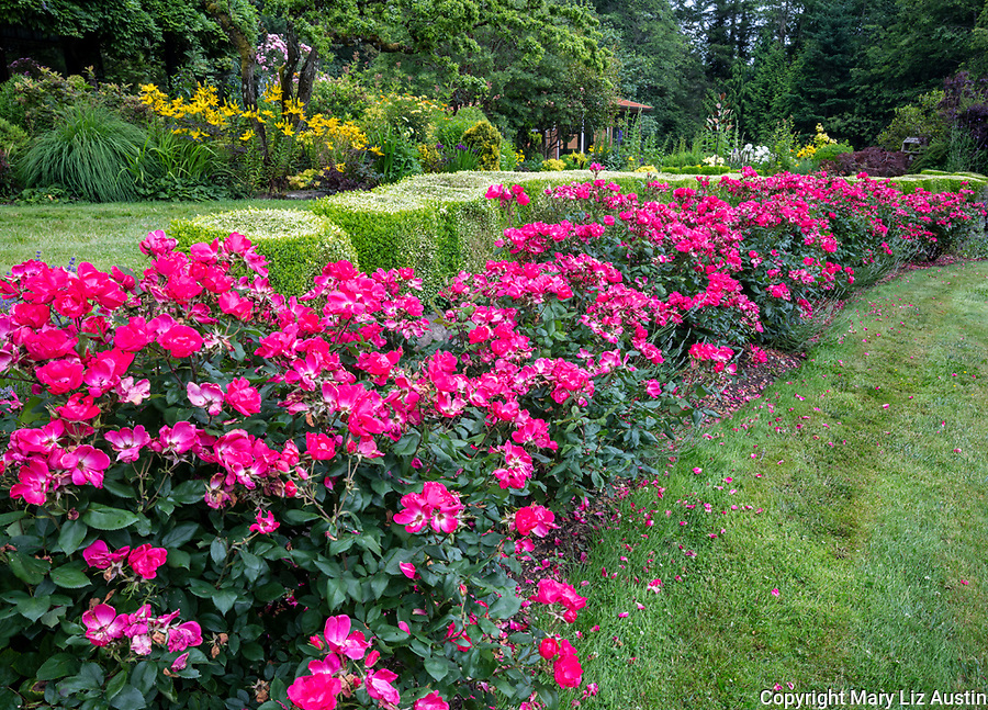 Vashon Island, Washington: A line of Knock Out roses 'Radrazz'  iin bloom in a summer perennial garden
