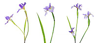 30099-00202 Blue Flag Iris (Iris versicolor) with white background, Marion Co., IL