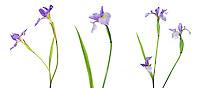 30099-00202 Blue Flag Iris (Iris versicolor) with white background, Marion Co., IL