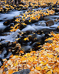 Inyo National Forest, CA:  Detail of fall colored cottonwood leaves among the rocks of McGee Creek in the eastern Sierras