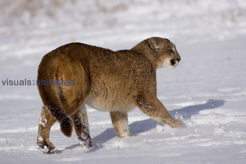 A Puma ,Cougar or Mountain Lion, walking in the snow ,Felis concolor,, North America.