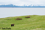 Grizzly bear adult and Yellowstone Lake. Yellowstone National Park, Wyoming.