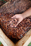 BELIZE, Punta Gorda, Toledo District, Cacao seeds ferment in the Maya village of San Jose