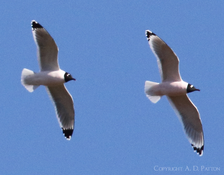 Pair of adult Franklin's gulls in breeding plumage