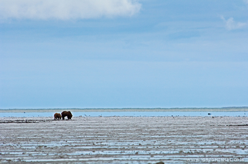 Brown Bear Sow and Cub dig for clams during low tide on the McNeil Cove mudflats. Summer in Southwest Alaska.