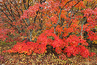 Maples turn a brilliant red in Autumn's hardwood forests on the Keewenaw Peninsula in Upper Michigan.