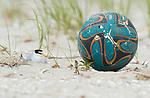 Least Tern (Sterna antillarum) adult nesting next to abandoned beach ball, Nickerson Beach, Long Island, New York, USA.