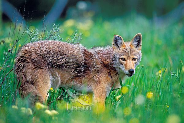 Wild Coyote in meadow of wildflowers.  Western U.S., June.
