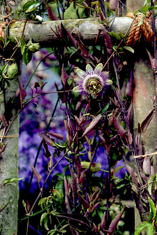 Passiflora caerulea Passion flower climbing vine on rustic trellis