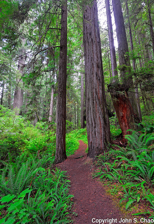 Vertical view of Brown Creek trail leading through Redwood trees and ferns, Redwood National and State Parks, California.