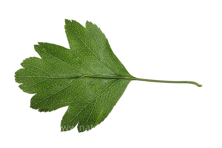 Eingriffliger Weißdorn, Weissdorn, Weiß-Dorn, Weiss-Dorn, Crataegus monogyna, English Hawthorn, May, Aubépine monogyne. Blatt, Blätter, leaf, leaves