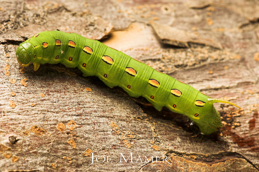 White Lined Sphynx caterpillar (Hyles lineata). Also known as Hawk Moths, Hummingbird Moths, and Sphynx Moths.