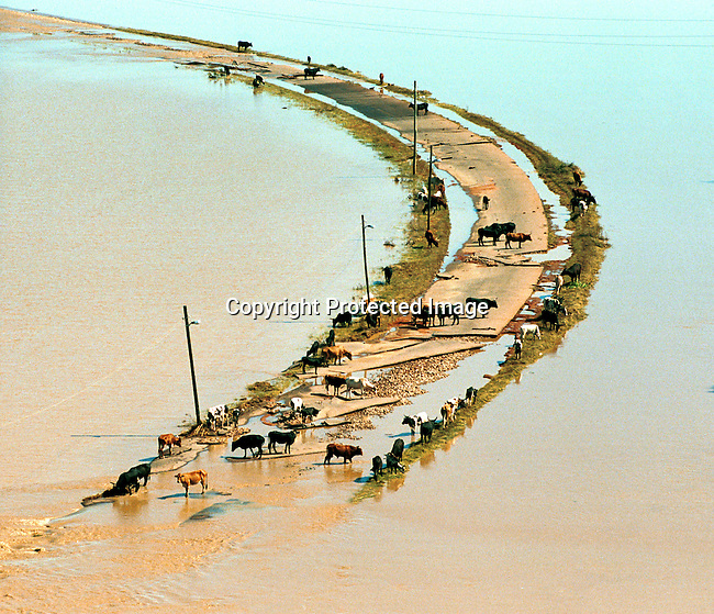Cattle stranded on a road destroyed by the severe flooding in Mozambique in February-March 2000;aerial view of flooded roads..©Per-Anders Pettersson/iAfrika Photos