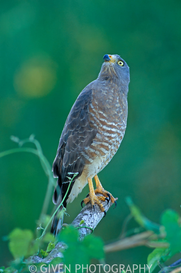 Roadside Hawk, Belize