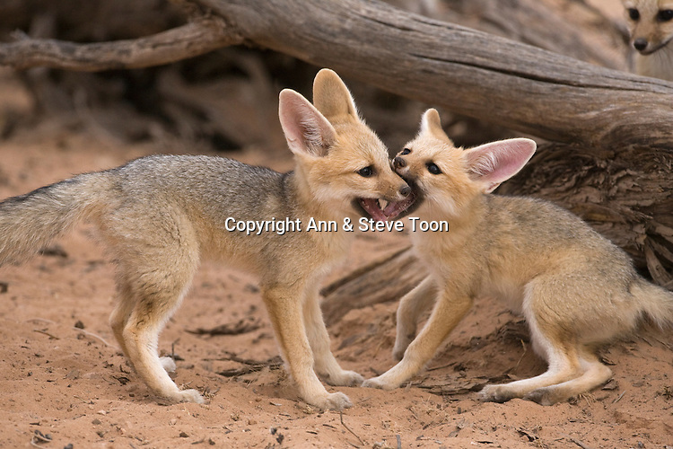 Cape fox cubs, Vulpes chama, playfighting,Kgalagadi Transfrontier Park,Northern Cape, South Africa