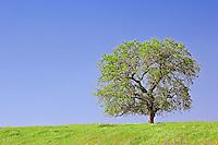 Single Valley Oak on ridge, California, Quercus lobata