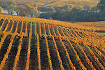 Vineyards in fall at Artesa Winery, Carneros Region, Napa County, California