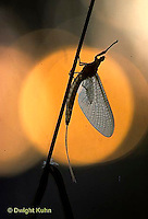 1E02-002b  Mayfly - adult