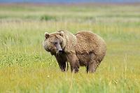 Kodiak grizzly bear (Ursus arctos middendorffi), female, Hallo Bay