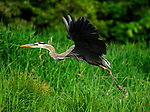 A great blue heron at Rose Valley Lake, Gamble Township, Lycoming County PA.
