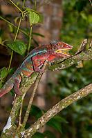 Africa; Madagascar, Analamazaotra special reserve in Andasibe-Mantadia National Park. Panther chameleon.