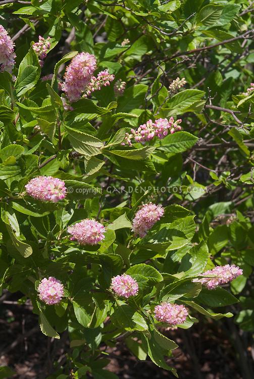 Clethra alnifolia 'Ruby Spice' pink summersweet in flower in July