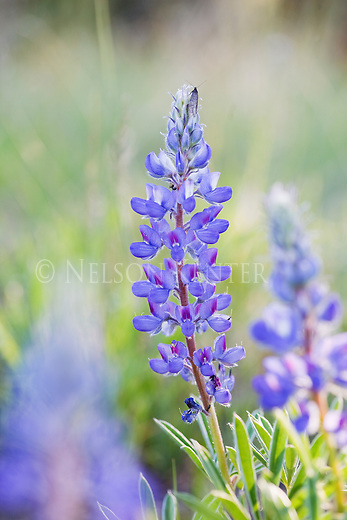 Lupine Wildflowers in a Montana National forest