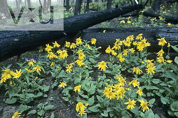Heartleaf Arnica (Arnica cordifolia) in a burned Lodgepole Pine forest (Pinus contorta), Yellowstone, North America.