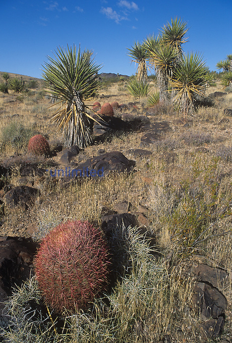 Barrel Cactus and Yuccas, Mojave Desert, Southwestern USA.