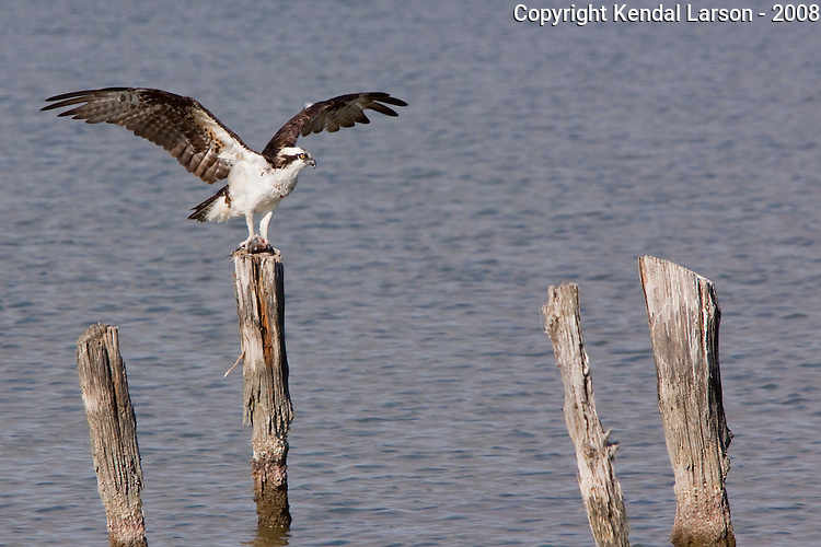An osprey sits atop a feeding post with a small redfish in its claws.