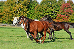 A mix of broodmares and retired racehorses gallop in the fields at Bright View Farm in Chesterfield, New Jersey.  Photo By Bill Denver/EQUI-PHOTO.