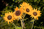 Sunflowers in the garden of Chris Famularo, Jackson, Cali.f
