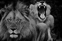 Male and female Lion (Panthera Leo). .Winter, May 2009. Hluhluwe-Imfolozi Game Reserve, Kwazulu Natal, South Africa.