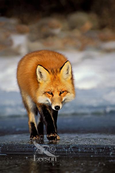 Red fox (Vulpes vulpes) walks on surface of frozen lake.  Winter.