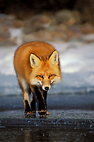 Red fox (Vulpes vulpes) walks on surface of frozen lake.  Winter.