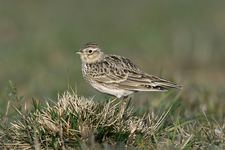 Skylark Alauda arvensis L 18cm. Has nondescript plumage and best known for incessant song, delivered in flight. Sexes are similar. Adult has streaked sandy-brown upperparts and paler underparts; breast is streaked and flushed buff. Short crest is sometimes raised. In flight, note whitish trailing edge to wings and white outer tail feathers. Juvenile is similar but with scaly-looking back. Voice Rapid song comprises trills, whistles and elements of mimicry. Call is a rolling chrrrp. Status Favours grassy habitats including meadows, heaths and arable farmland. Has declined alarmingly, due to changes in farming practises, but still common. Forms flocks outside breeding season; upland breeding birds move to lowlands in winter.