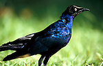 Long Tail Starling (Ruppells), Lomprotornis prupruopterus, irridescent colours, West Africa, blue. .Gambia....