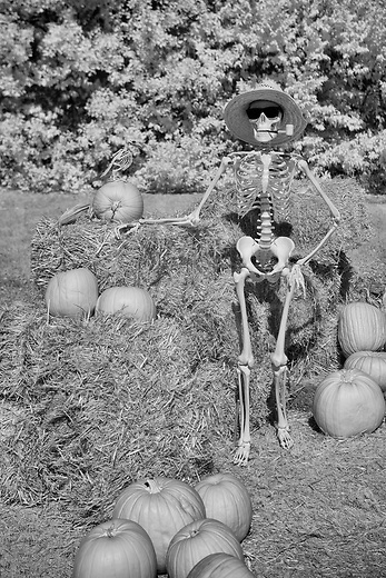 Skeleton gardner proudly shows off his pumpkin patch harvest for a haunted Halloween holiday.