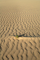 Lone plant on sandy beach, Corralejo, Fuerteventura, Canary Islands.