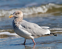 Adult herring gull in winter plumage