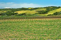 Miniature pumpkins growing in the Qu'Appelle Valley<br /> Craven<br /> Saskatchewan<br /> Canada