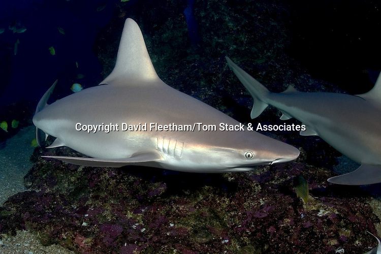 Although rarely seen, the sandbar shark, Carcharhinus plumbeus, is probably the most numerous of all shark species found in Hawaii.