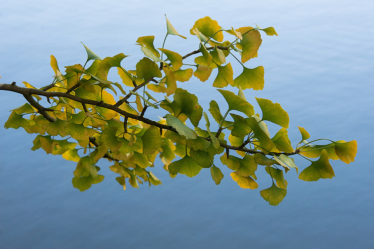 Gingko biloba, late October.