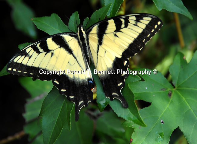 Eastern Tiger swallowtail butterfly, Papilio glaucus, swallowtail butterfly,  Animalia, arthropoda, insecta, lepidoptera, Papilionidae, Papilio, P. glaucus, Papilio glaucus, Monarch butterfly, butterfly, Monarch, Danaus plexippus, Milkweed butterfly, Danainae, Nymphalidae, North American, Viceroy butterfly, Fine Art Photography by Ron Bennett, Fine Art, Fine Art photography, Art Photography, Copyright RonBennettPhotography.com © Fine Art Photography by Ron Bennett, Fine Art, Fine Art photography, Art Photography, Copyright RonBennettPhotography.com ©