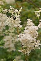 Echtes Mädesüß, Mädesüss, Filipendula ulmaria, Meadow Sweet, Quenn of the Meadow, Reine des prés