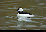 Bufflehead Male, Goldeneye, Reifel Migratory Bird Sanctuary, British Columbia, Canada