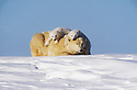 Polar Bear Mother and Cubs; Wapusk National Park, Manitoba, Canada